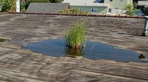 Plant growing in ponding water on roof.